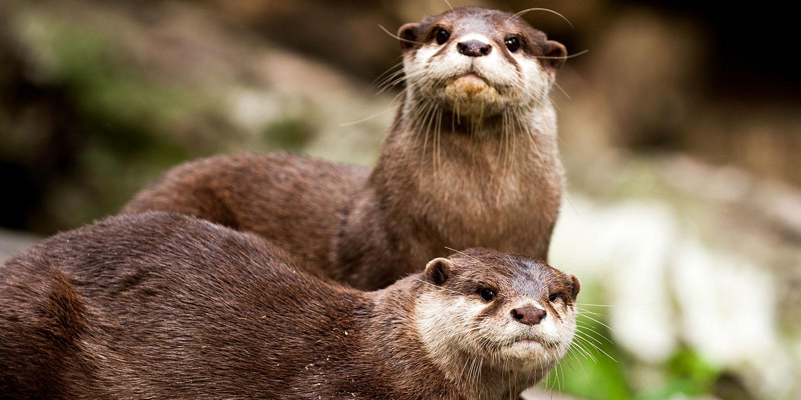 Otters Dier en Park