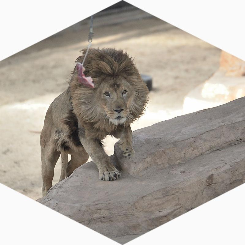 Stichting Leeuw bij Landgoed Hoenderdaell