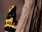 Bijen Pijlgifkikker