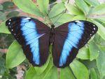 Blauwe Morphovlinder
