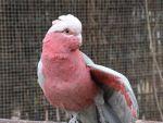 Rosé kaketoe