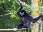 Gibbon in Mondo Verde