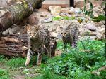 Savannah kat in Kasteelpark Born
